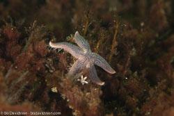 BD-110417-Lysekil-26-Leptasterias-(Leptasterias)-muelleri-(M.-Sars.-1846)-[Northern-starfish.-Tjockarmad-sjöstjärna].jpg